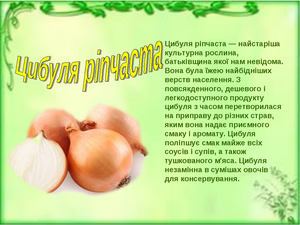 Цибуля ріпчаста — найстаріша культурна рослина, батьківщина якої нам невідома...