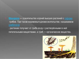 Микориза—сожительствокорнейвысшихрастенийсгифамигрибов.Притакомвз