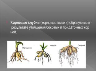 Корневыеклубни(корневыешишки)образуютсяврезультатеутолщениябоковыхи