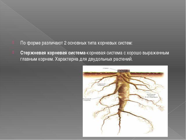 По форме различают 2 основных типа корневых систем: Стержневая корневая сист...