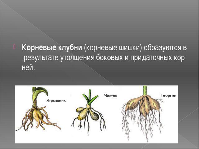 Корневыеклубни(корневыешишки)образуютсяврезультатеутолщениябоковыхи...