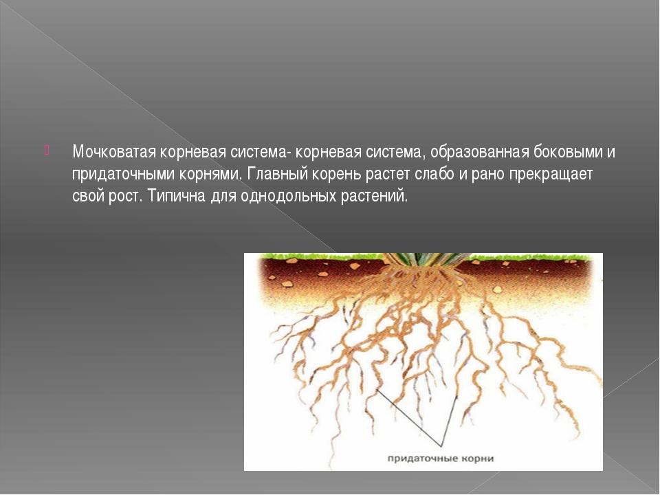 Мочковатая корневая система- корневая система, образованная боковыми и прида...