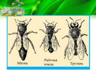 У насекомых наблюдается и партеногенез. Так, у общественных перепончатокрылых