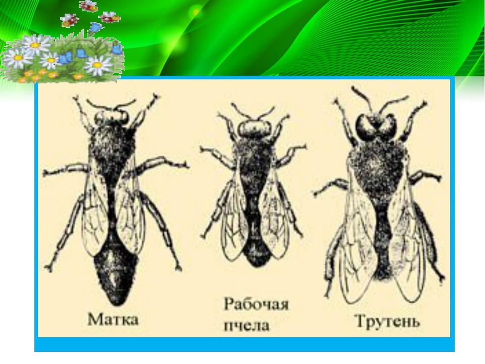 У насекомых наблюдается и партеногенез. Так, у общественных перепончатокрылых...