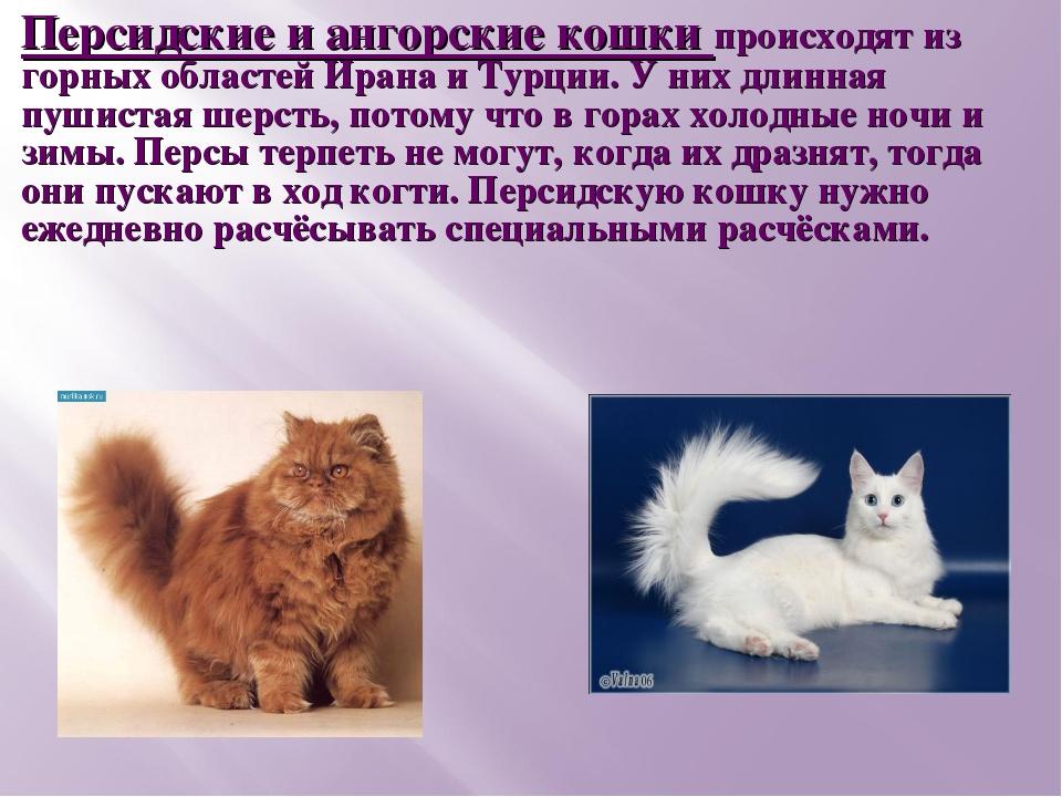 Персидские и ангорские кошки происходят из горных областей Ирана и Турции. У...