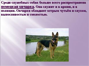 Среди служебных собак больше всего распространена немецкая овчарка. Она служи