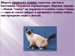 Шерсть сиамских кошек короткая, мягкая и блестящая. Окрашена неравномерно. Пр