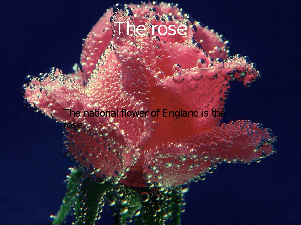 The rose The national flower of England is the rose.