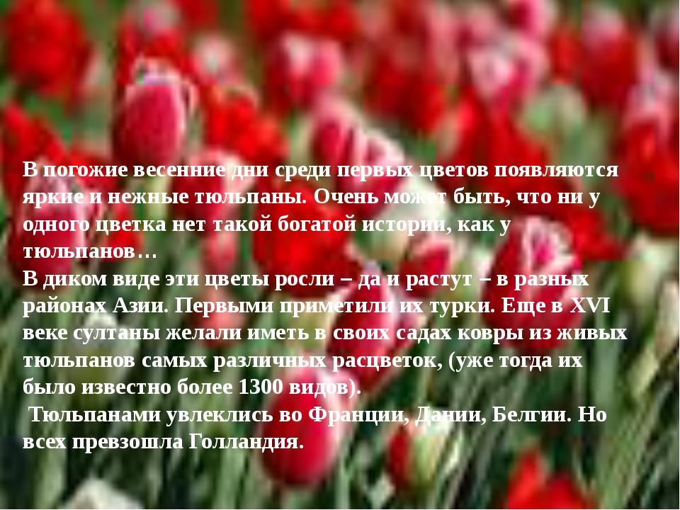 В погожие весенние дни среди первых цветов появляются яркие и нежные тюльпаны...