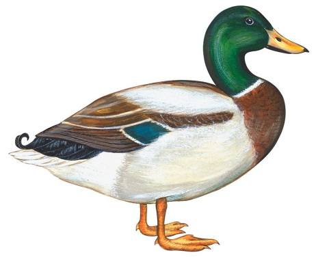 http://images.fineartamerica.com/images-medium-large-5/mallard-duck-anonymous.jpg