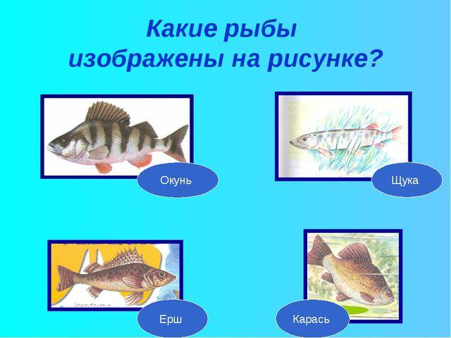 Какие рыбы изображены на рисунке? Окунь Щука Ерш Карась