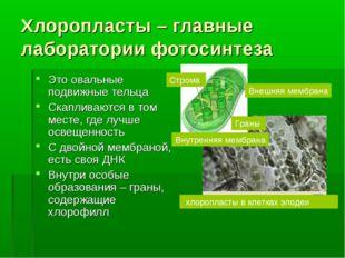 Хлоропласты – главные лаборатории фотосинтеза Это овальные подвижные тельца С