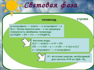 Световая фаза а) хлорофилл –––(свет)–––> хлорофилл* + e б) e + белки-переносч