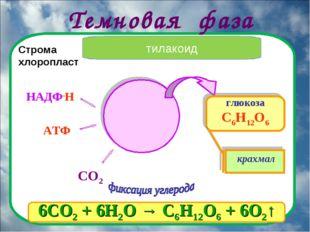 Темновая фаза глюкоза С6Н12О6 СО2 крахмал Строма хлоропласт тилакоид