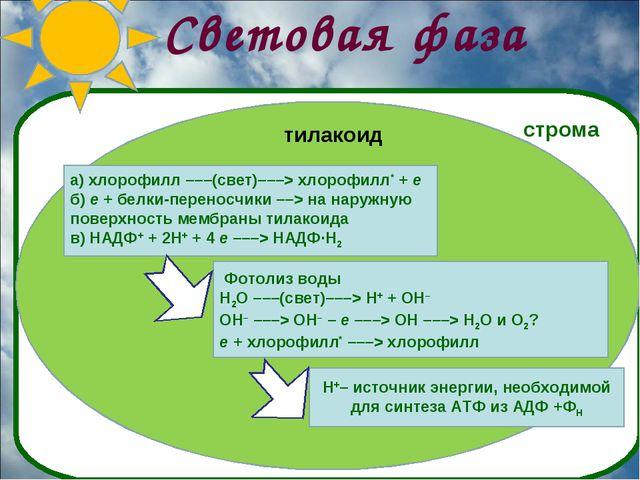 Световая фаза а) хлорофилл –––(свет)–––> хлорофилл* + e б) e + белки-переносч...