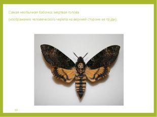 Самая необычная бабочка: мертвая голова (изображение человеческого черепа на