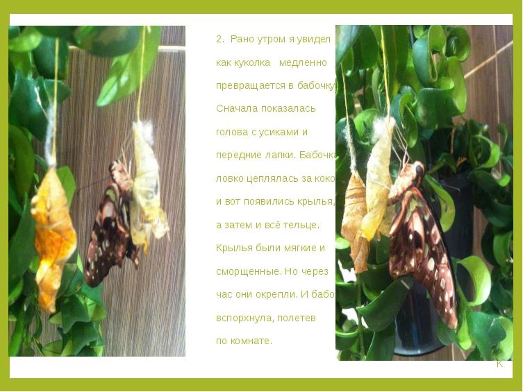 2. Рано утром я увидел как куколка медленно превращается в бабочку. Сначала...