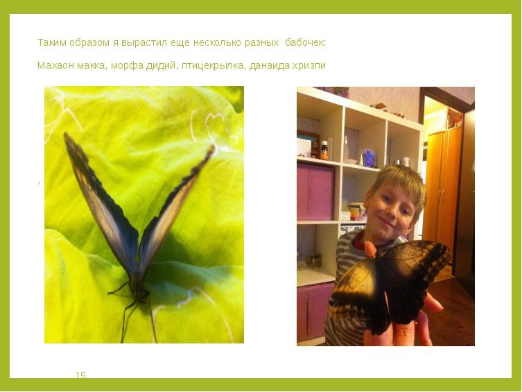Таким образом я вырастил еще несколько разных бабочек: Махаон макка, морфа ди...