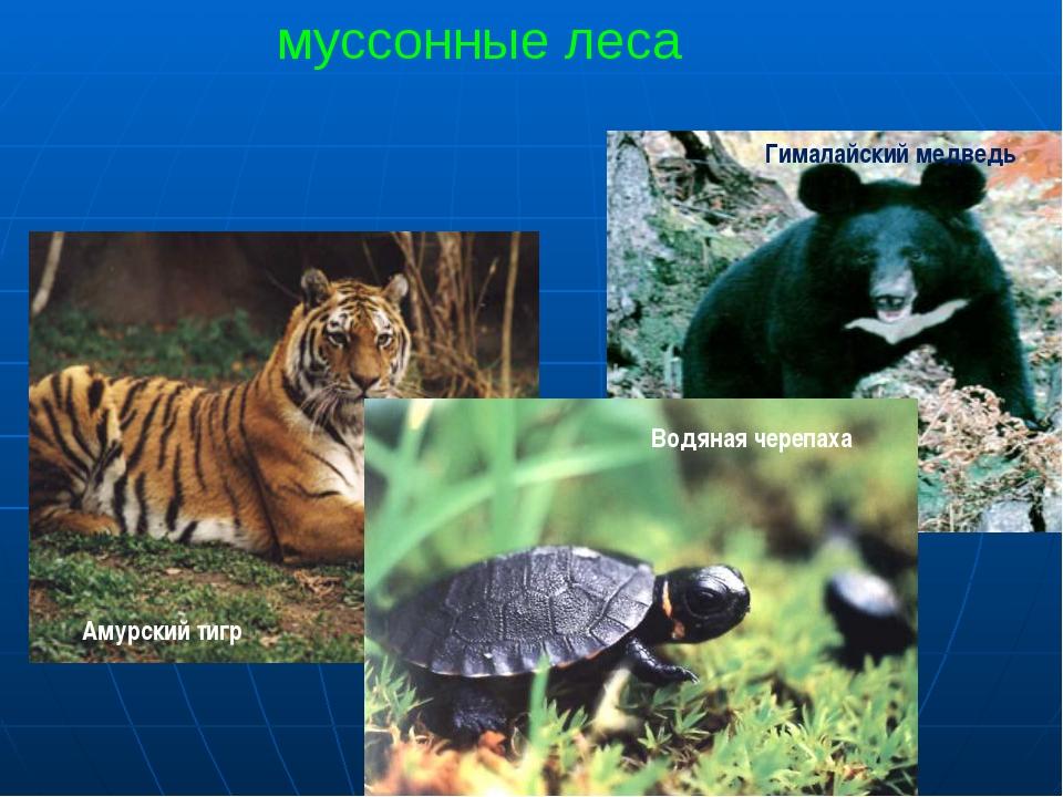 муссонные леса Амурский тигр Гималайский медведь Водяная черепаха