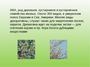 ИВА, род деревьев, кустарников и кустарничков семейства ивовых. Около 350 вид