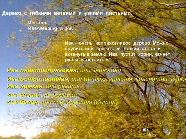 Дерево с гибкими ветвями и узкими листьями. . Ива-тал Ива-weeping willow Ива...