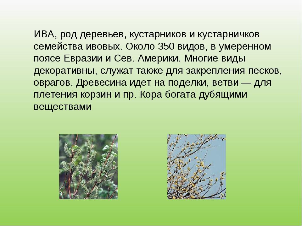 ИВА, род деревьев, кустарников и кустарничков семейства ивовых. Около 350 вид...