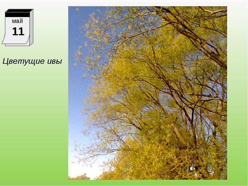 Цветущие ивы май 11