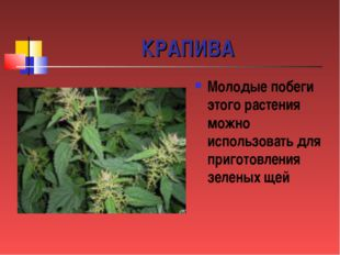 КРАПИВА Молодые побеги этого растения можно использовать для приготовления зе