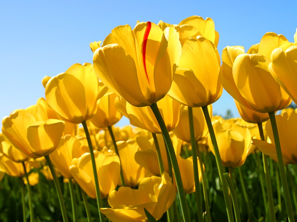 C:\Users\Public\Pictures\Sample Pictures\Tulips.jpg