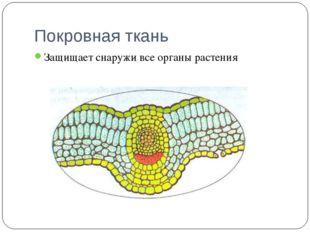 Покровная ткань Защищает снаружи все органы растения