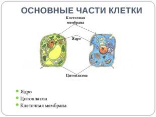 ОСНОВНЫЕ ЧАСТИ КЛЕТКИ Ядро Цитоплазма Клеточная мембрана Цитоплазма Клеточная