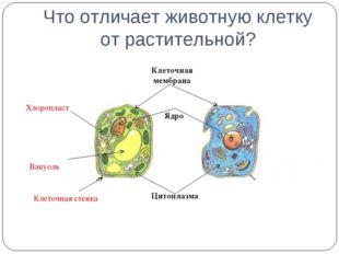 Что отличает животную клетку от растительной? Цитоплазма Клеточная стенка Кле