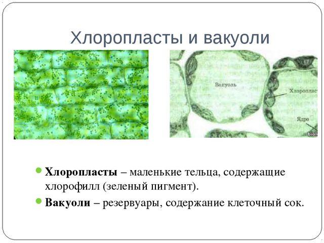 Хлоропласты и вакуоли Хлоропласты – маленькие тельца, содержащие хлорофилл (з...