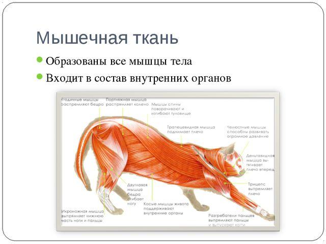 Мышечная ткань Образованы все мышцы тела Входит в состав внутренних органов