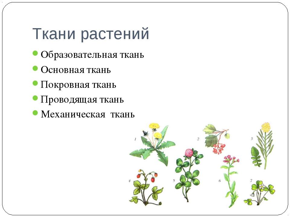 Ткани растений Образовательная ткань Основная ткань Покровная ткань Проводяща...