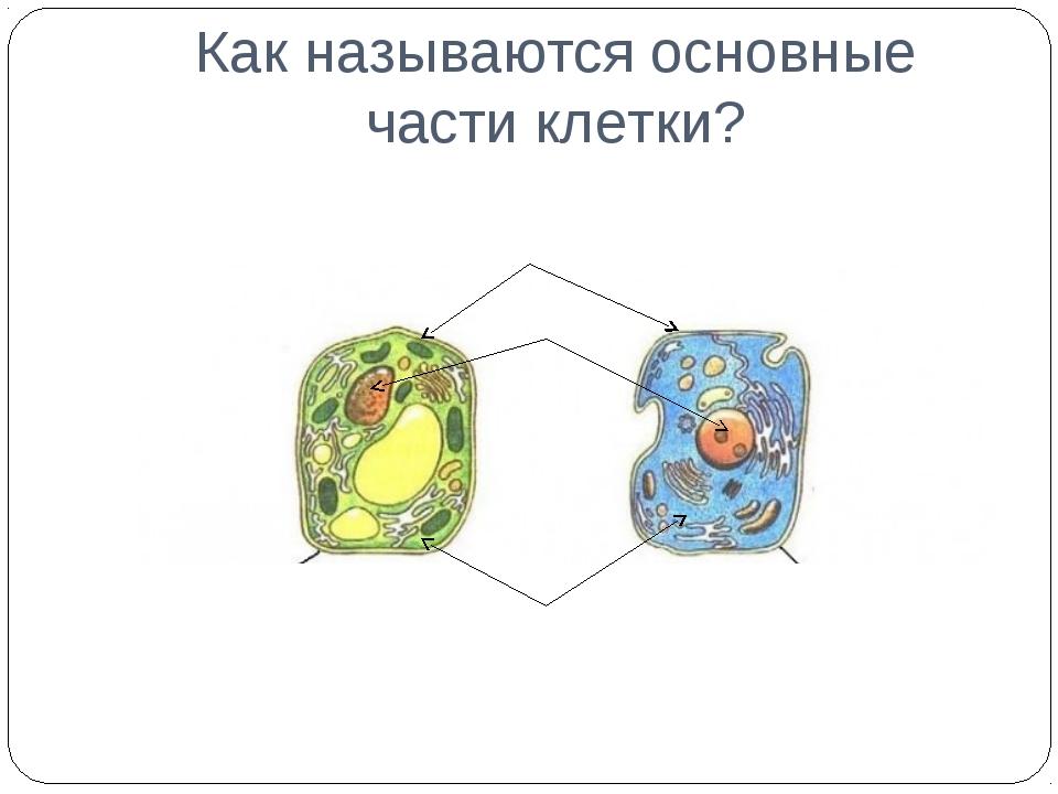 Как называются основные части клетки?