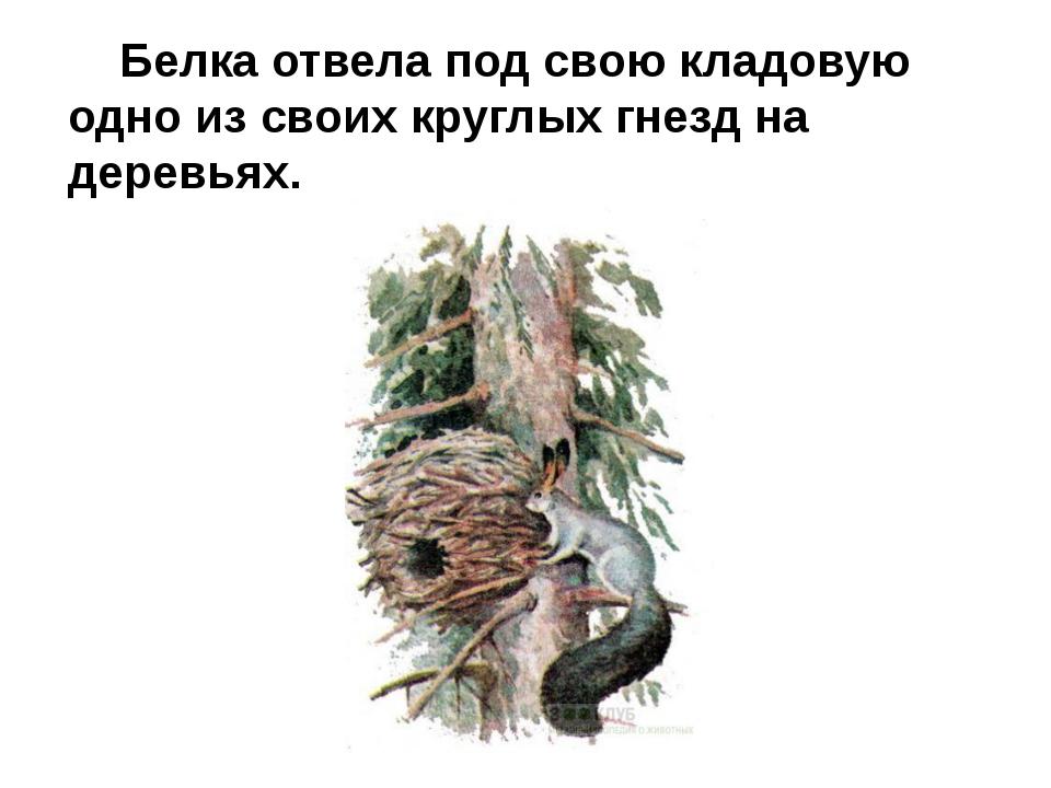 Белка отвела под свою кладовую одно из своих круглых гнезд на деревьях.