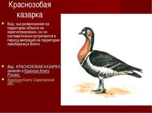 Краснозобая казарка Вид, чье размножение на территории области не зарегистрир