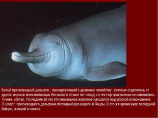 Белый пресноводный дельфин , принадлежащий к древнему семейству , которые отд
