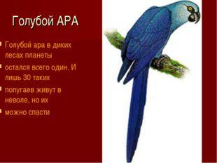 Голубой АРА Голубой ара в диких лесах планеты остался всего один. И лишь 30