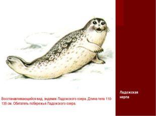 Восстанавливающийся вид, эндемик Ладожского озера. Длина тела 110-135 см. Оби