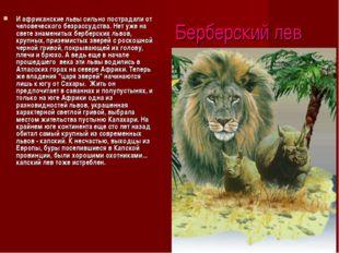 Берберский лев И африканские львы сильно пострадали от человеческого безрассу