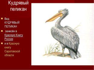Кудрявый пеликан Вид КУДРЯВЫЙ ПЕЛИКАН занесён в Красную Книгу России и в Крас