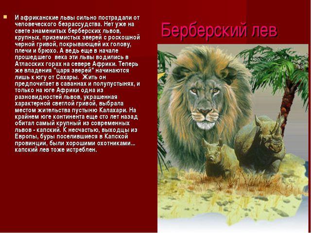 Берберский лев И африканские львы сильно пострадали от человеческого безрассу...