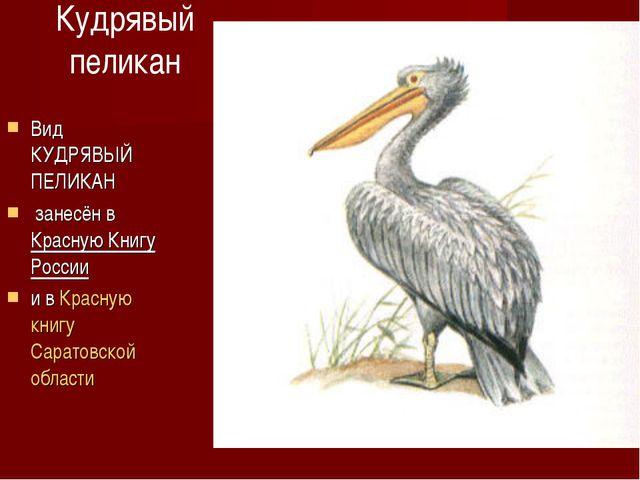 Кудрявый пеликан Вид КУДРЯВЫЙ ПЕЛИКАН занесён в Красную Книгу России и в Крас...
