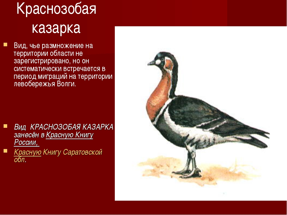Краснозобая казарка Вид, чье размножение на территории области не зарегистрир...