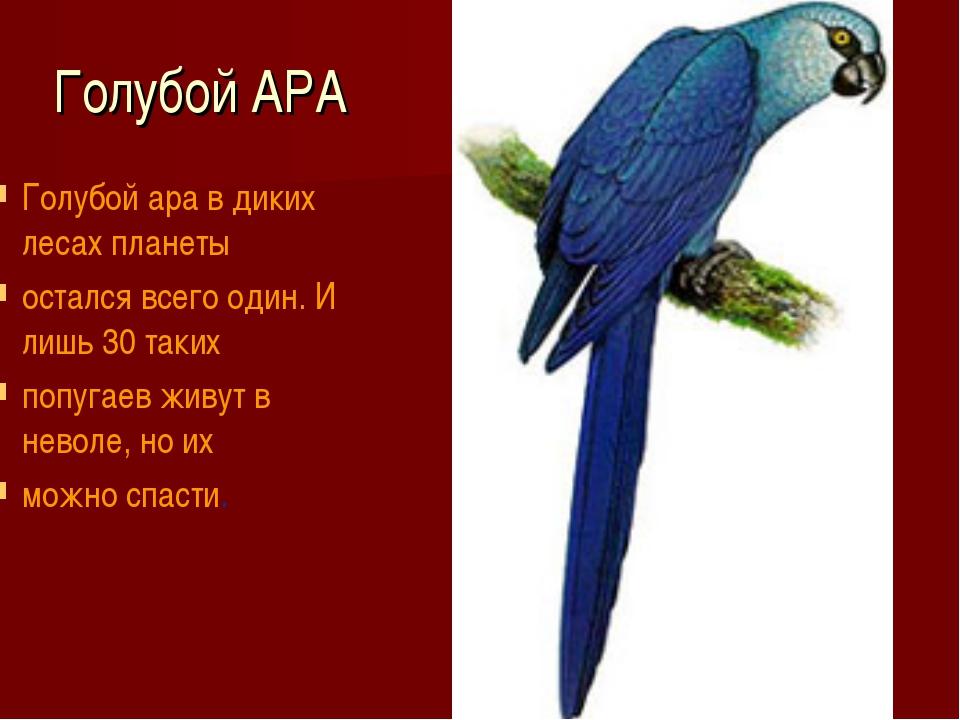 Голубой АРА Голубой ара в диких лесах планеты остался всего один. И лишь 30...