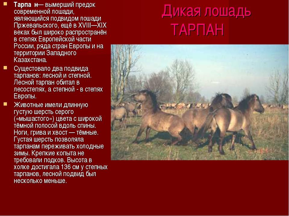 Дикая лошадь ТАРПАН Тарпа́н— вымерший предок современной лошади, являющийся...