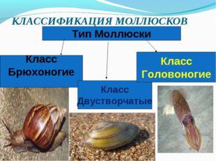 КЛАССИФИКАЦИЯ МОЛЛЮСКОВ Тип Моллюски Класс Брюхоногие Класс Двустворчатые Кла