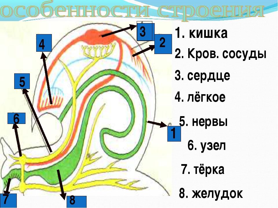 6 1 2 3 4 5 7 8 1. кишка 2. Кров. сосуды 3. сердце 4. лёгкое 5. нервы 6. узел...